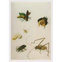 """Insectes"" de Maria Sibylla Merian, reproduction sur carte postale."