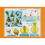 L'oignon, carte postale pedagogique
