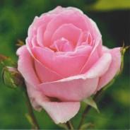 Carte Fleur Rose éclose