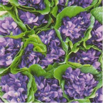 Bouquets de Violettes de Toulouse, carte photo