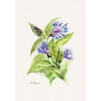 Bleuet ou oeillet barbeau, carte postale aquarelle