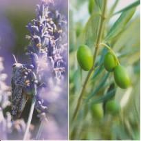 Olives et Lavande, carte postale photo