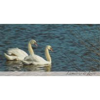 Couple de cygnes, carte postale photo