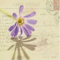 """Carte postale """"Marguerite mauve"""" douce et romantique"""