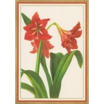 Fleurs d'Amaryllis rouge - carte de voeux
