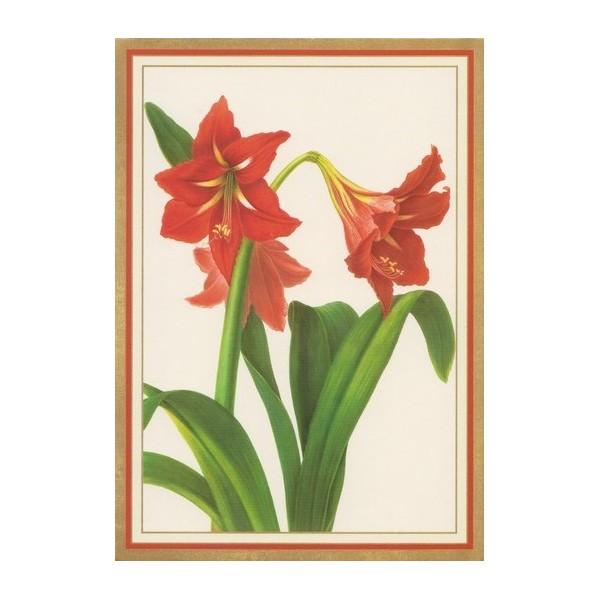 Carte de voeux fleurs d 39 amaryllis rouge en encadr or for Amaryllis de noel