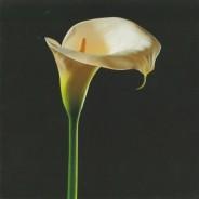 Arum d'Ethipie, carte postale photo artistique