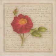 La Belle Sultane, rose en grande carte reproduction d'aquarelle
