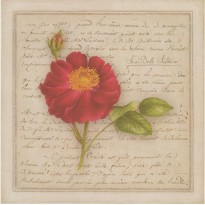 La Belle Sultane, rose en grande carte reproduction d'aquarelle