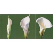 Métamorphose de l'arum, carte postale à rabat
