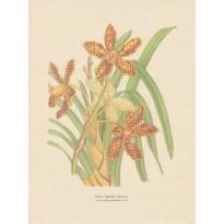 Orchidée Tigrée, reproduction de planche botanique