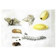 Métamorphose de la Bielle de Soie, carte postale reproduction