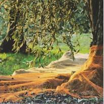"""""""Cueillette des Olives"""" , carte postale de Provence."""